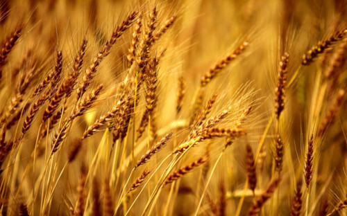 Rice and wheat were the main food of China
