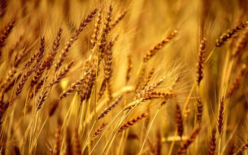 Gạo. lúa mì là những thực phẩm chính ở Trung Hoa