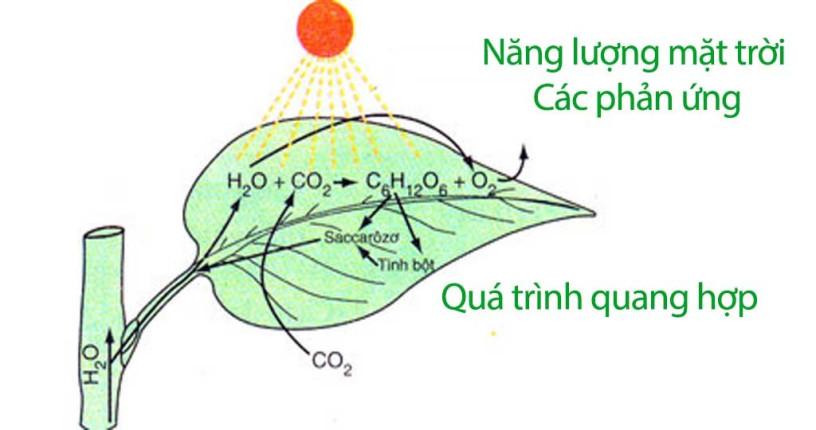 Quang hợp là quá trình quang học quan trọng nhất của sinh quyển